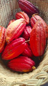 Cocoa pods from our garden