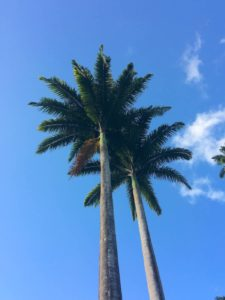 Huge Royal Palm trees